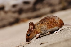 Mice Control, Pest Control in Buckhurst Hill, IG9. Call Now 020 8166 9746