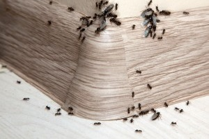 Ant Control, Pest Control in Buckhurst Hill, IG9. Call Now 020 8166 9746