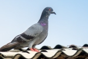 Pigeon Pest, Pest Control in Buckhurst Hill, IG9. Call Now 020 8166 9746