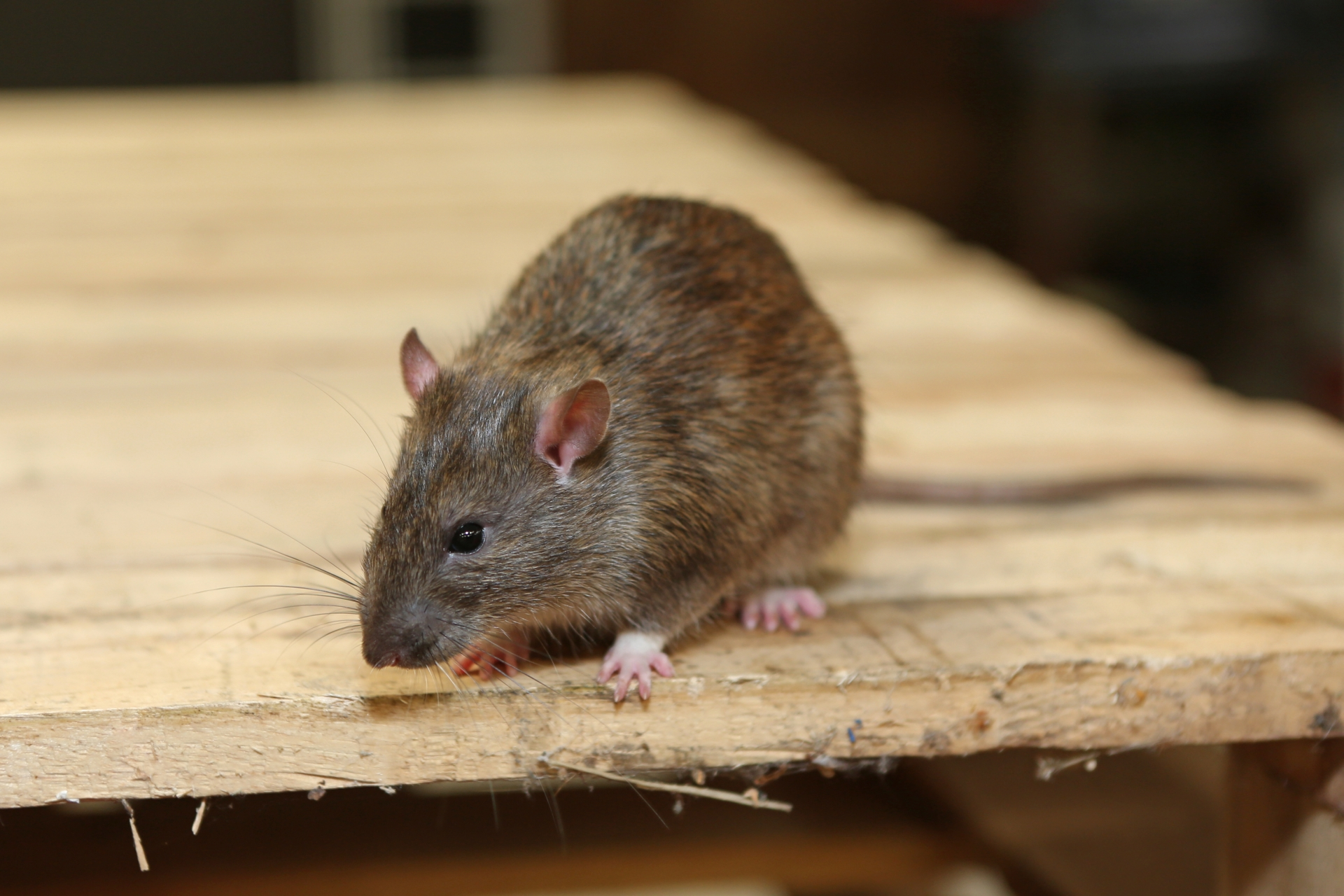 Rat Control, Pest Control in Buckhurst Hill, IG9. Call Now 020 8166 9746